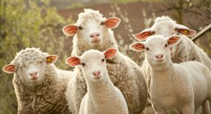 No seas otra oveja más