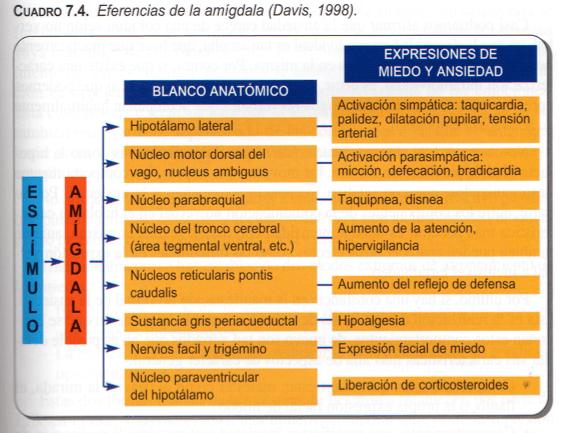 eferencias-amigdala