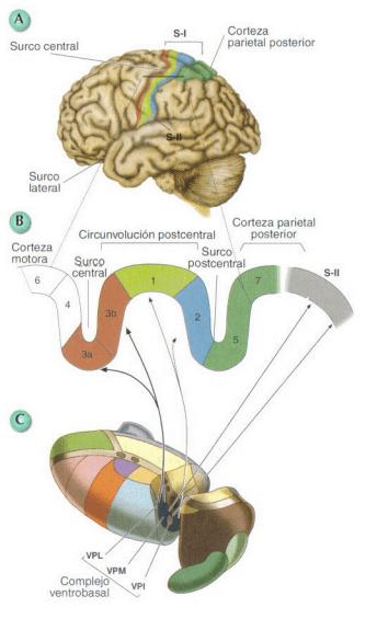 areas somatosensoriales