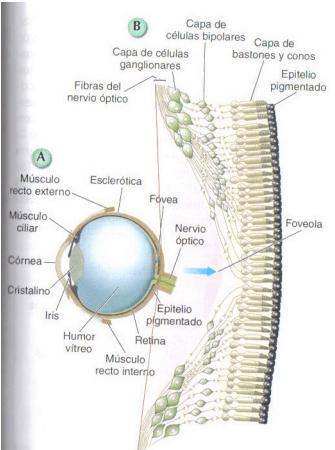 componentes ojo humano