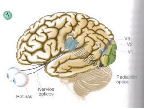 corteza visual encefalo
