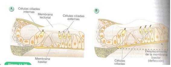 membrana basilar