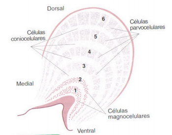 nucleo geniculado lateral