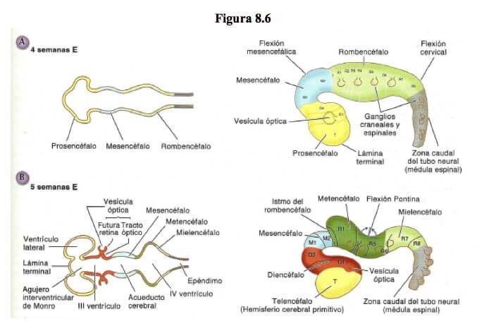 dilatacion-tubo-neural