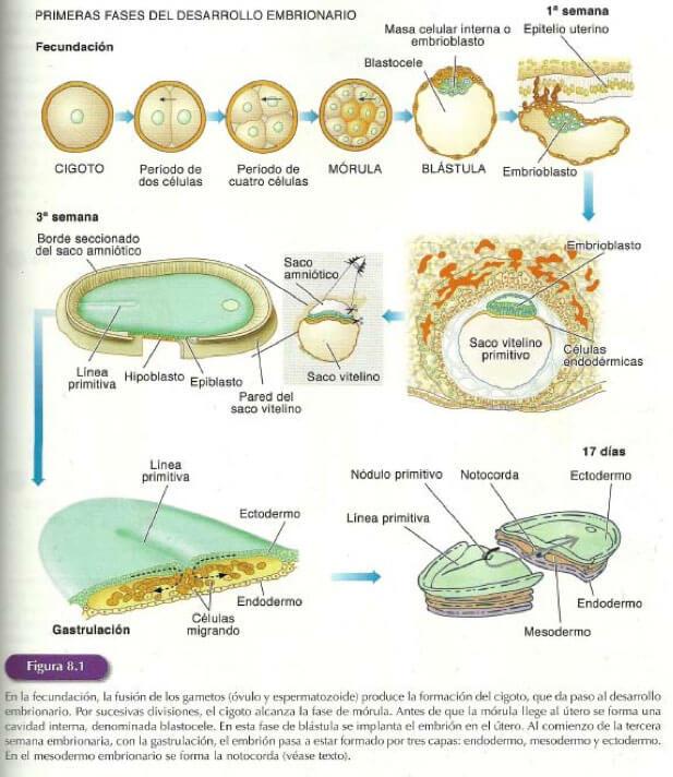 fases-desarrollo-embrionario