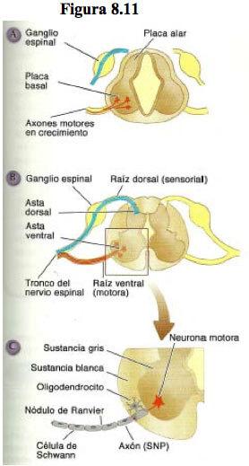 ganglio-espinal
