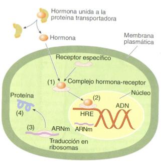 hormona esteroide