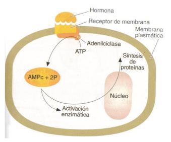 hormonas AMPC