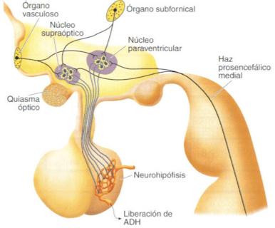 liberacion-vasopresina