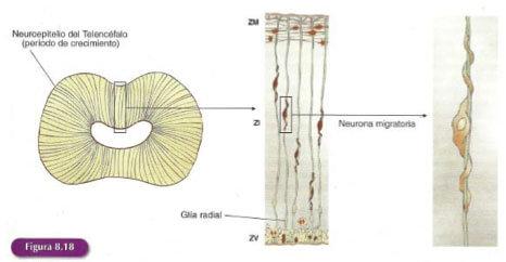 migracion celular