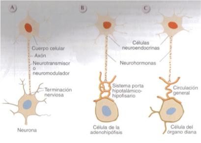 neuronas-hipotalamicas