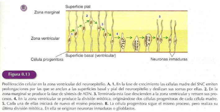 proliferacion-celular