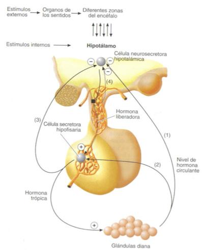 sistemas hormonales