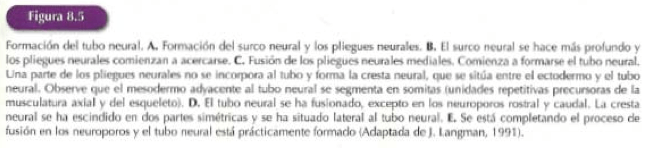 tubo-neural-explicacion