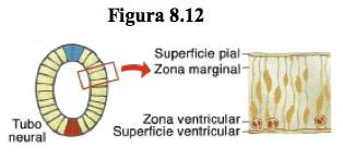 tubo-neural
