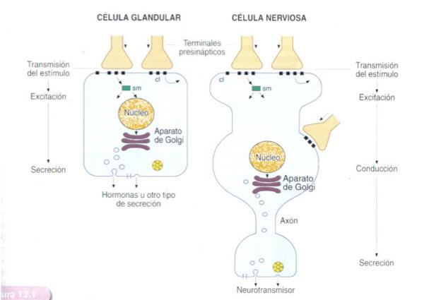celula-glandular