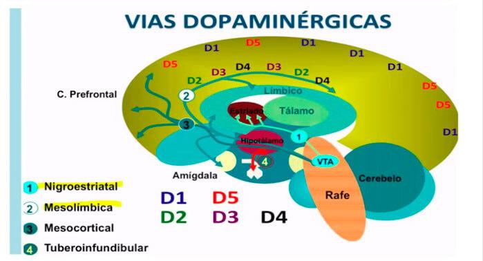 vías dopaminérgicas